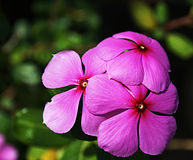 Periwinkle triplet. Purple Rose Periwinkle flowers triplet in India. It is also a herbal medicine for diabetes Stock Photography