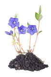 Periwinkle (Vinca minor) Royalty Free Stock Images