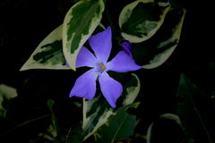 A periwinkle (vinca minor). A blue periwinkle under the shadow Royalty Free Stock Images