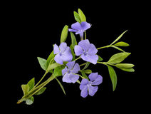 Periwinkle, Vinca minor isolated on black Stock Photography