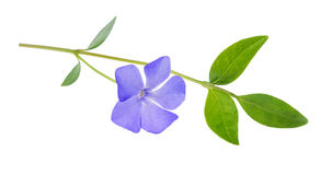 Periwinkle, Vinca minor isolated on white Royalty Free Stock Photography