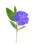 Periwinkle, Vinca minor isolated on white Stock Images