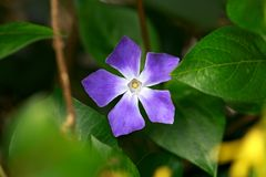 Periwinkle, Vinca minor, plant with flowers inspring garden royalty free stock image