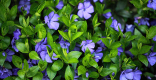 Periwinkle (Vinca minor) plant with flowers stock images