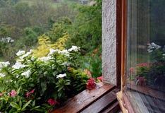 Periwinkle (vinca) in rainy day Stock Photo