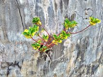 Periwinkle. A wild periwinkle flowering plant growing from a crack in the wall in Singapore Stock Image