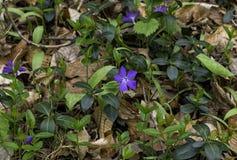 Periwinkle wildflowers. / vinca minor, in spring Royalty Free Stock Image