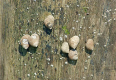 Periwinkles on a wood piling Stock Photography