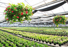 Periwinkls in the greenhouse. Millions of periwinkle seedlings cultivated in a large greenhouse. Foshan,guangdong,china Royalty Free Stock Photography
