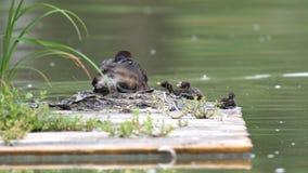 Perkoz rodzina na spławowym gniazdeczku w stawie zdjęcie wideo