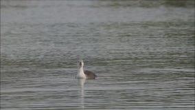 Perkozy na Milada jeziorze blisko Usti nad Labem zbiory wideo
