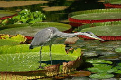 Perky Heron. Heron fishing in a lily pond Royalty Free Stock Photo