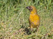 Perky masked weaver bird. Alert Masked Weaver bird feeding on seed Royalty Free Stock Images