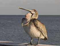 Perky Pelican Strikes a Gross Pose. A pelican decides to strike a particularly gross, grotesque pose by turning its bill inside-out.   The locale was the fishing Royalty Free Stock Photo