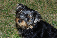 Perky puppy Yorkshire terrier. Resting on green lawn Royalty Free Stock Images