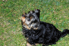 Perky puppy Yorkshire terrier. Resting on green lawn Stock Photos