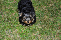 Perky puppy Yorkshire terrier. Resting on green lawn Stock Images