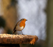 Perky Robin Royalty Free Stock Photography