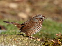 Perky Song Sparrow. Perched on log with blurred background royalty free stock photos