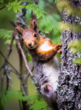 Perky squirrel. In Finnish forest Royalty Free Stock Photos