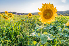 Perky sunflowers stand out in a field. Of sunflowers on a rural farm Royalty Free Stock Photography