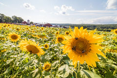 Perky sunflowers stand out in a field. Of sunflowers on a rural farm Stock Photos
