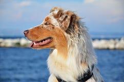 Perla Australian Shepherd Dog imagens de stock royalty free
