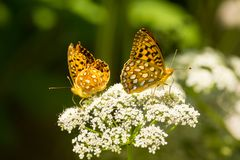 Perla Crescent Butterflies In Summer Garden Fotografie Stock Libere da Diritti