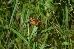 Perla Crescent Butterfly fotos de archivo
