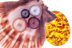 Perla hermosa en la cáscara con el ámbar Fotografía de archivo