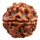 Perla organica dal seme dell'albero di Rudraksha Fotografie Stock Libere da Diritti