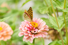 Perlamutrovka butterfly collects nectar on flower Royalty Free Stock Images