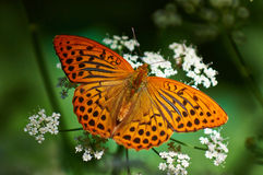 Perlamutrovka butterfly. Stock Photography