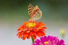 Perlamutrovka fjärilscloseup på blomman som samlar nektar Arkivbild