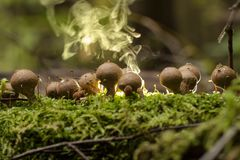 Perlatum de lycoperdon de champignon d'imperméable Photographie stock libre de droits