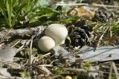 Perlatum de lycoperdon de champignon de couche Photos stock