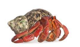 perlatus d'hermite de crabe de coenobita photographie stock libre de droits