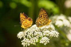 Perle Crescent Butterflies In Summer Garden Lizenzfreie Stockfotos