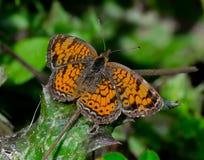 Perle Crescent Butterfly auf einem sterbenden Blatt Lizenzfreie Stockfotos