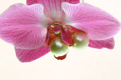Perle dell'orchidea   immagine stock