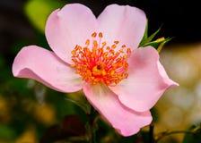 Perle du ` s de Poulsen, Floribunda, cinq pétale rose-clair Rose Photographie stock