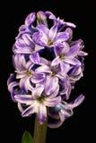 Perle lilas Image stock