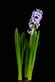 Perle lilas Photographie stock