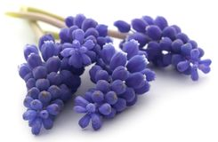 Perlehyacinter or grape hyacinths. Over white background Royalty Free Stock Image
