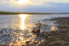 Perlen Sie in einem Sumpf, in einem Oberteil und in einem Flaum auf dem Ufer von einem See Stockfotos