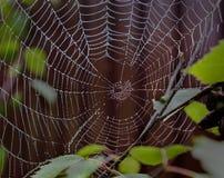Perlenspinnennetz stockbild