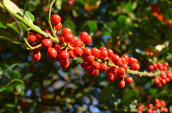 Perles rouges Photographie stock libre de droits