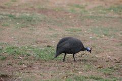 Perlhuhn, aves de Guinea Fotos de archivo
