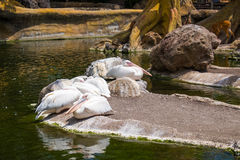 White pelicans at the zoo garden royalty free stock photo