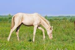 Perlino akhal-teke foal grazing in field Royalty Free Stock Image